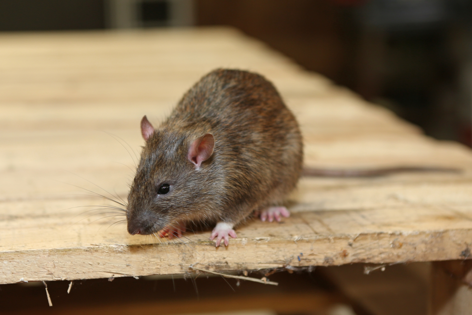 Rat Infestation, Pest Control in West Watford, Holywell, WD18. Call Now 020 8166 9746