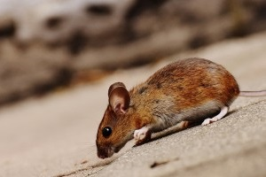 Mouse extermination, Pest Control in West Watford, Holywell, WD18. Call Now 020 8166 9746