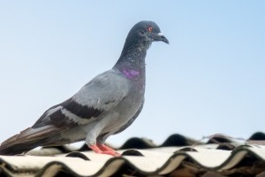 Pigeon Pest, Pest Control in West Watford, Holywell, WD18. Call Now 020 8166 9746