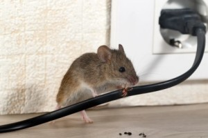 Mice Control, Pest Control in West Watford, Holywell, WD18. Call Now 020 8166 9746